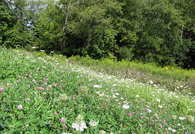 Yarrow and clover, Montour Trail, western PA