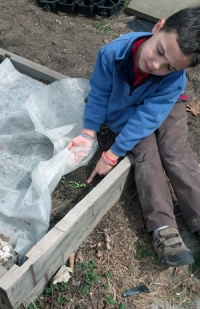 Young boy discovers seedlings under row cover.