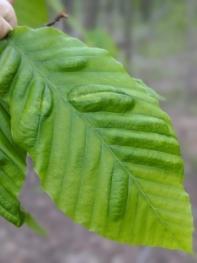 Beech leaf disease symptom