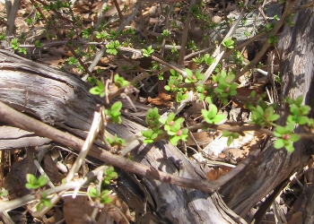 Invasive weeds are among the first plants to leaf out in early spring