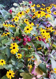 Rudbeckia and ripening blackberries
