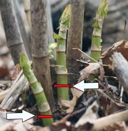 Japanese knotweed (Polygonum cuspidatum) cut below first joint. Photo: Petie Reed