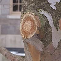 Fresh pruning cut on a Stewartia tree