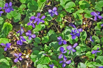 Common lawn violets (Viola sororia) are native plants with value to fritillary butterflies, among other creatures.
