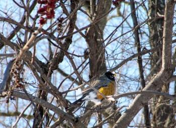 Overwintering robin on staghorn sumac.