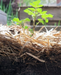 Two inches of baled straw have kept this potato bed relatively weed-free.