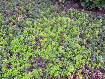 Bearberry, native groundcovering shrub
