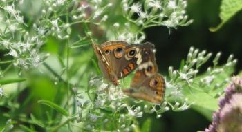 Common buckeye butterfly on Hyssop-leaved boneset