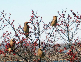 Cedar waxwings on winterberries