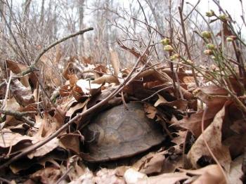 Eastern box turtle overwinters beneath leaves.
