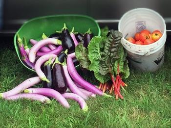Vegetable harvest by master gardeners