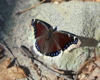 A mourning cloak butterfly flies on March 21.