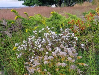Seaside goldenrod is the towers above white snakeroot (Ageratina altissima). At the bottom of the photo, see the spent flowers of much-shorter licorice golden