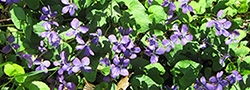 Violets are native plants