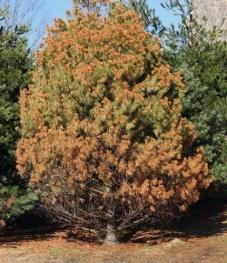 Winterburn on white pine