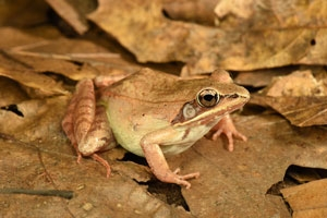 Wood frog by Dennis Quinn, herpetologist