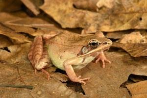 Wood frog by Dennis Quinn, herpetologist
