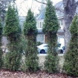 Deer damage arborvitae