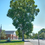 Centennial elm, Old Saybrook, Photo: Robert Lorenz