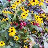 Rudbeckia and blackberries