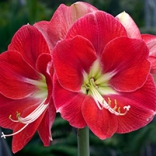 Amaryllis photo by Colorblends Bulbs