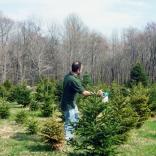 Foliar Feeding at a Tree Farm