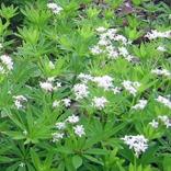 Galium odoratum, Sweet Woodruff