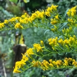 Licorice goldenrod. Photo: Charles Landrey