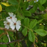 Multiflora rose is a state-listed invasive plant.