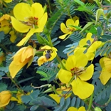 Bee pollinating partridge pea, Chamaecrista fasciculata