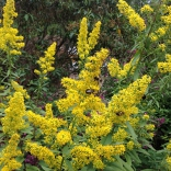 Showy Goldenrod, Solidago speciosa, photo: Chuck Landrey