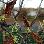 November-blooming witch hazel