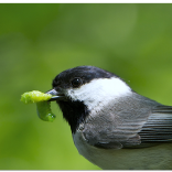 Chickadee with caterpillar, courtesy Smithsonian public domain