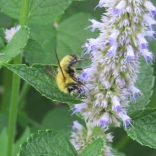 Queen bumblebee on purple hyssop by Kimberly Stoner, Ph.D.