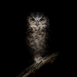Owl hunting at night. Photo provided by International Dark-Sky Association.