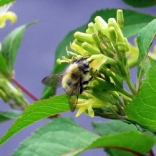 Bumblebee on bush honeysuckle. Photo: Kimberly Stoner, Ph.D.