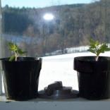 Spring seedlings in plastic pots