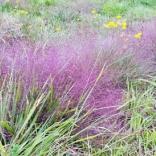 Purple love grass in August