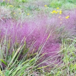 Purple love grass in August