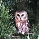 Saw-whet Owl overwinters along the Connecticut shoreline but nests farther north.