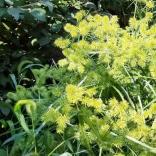 Yellow nutsedge, Cyperus esculentus